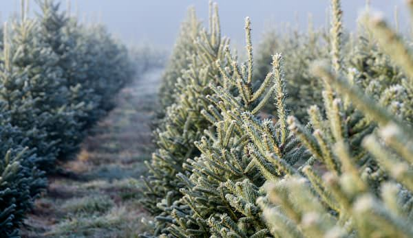 From farm to home: the growth of the Christmas Tree
