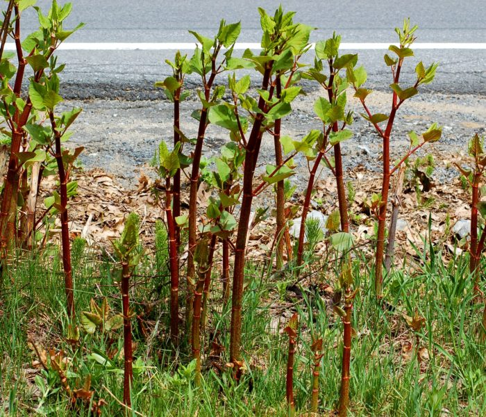 How to buy a property with Japanese knotweed